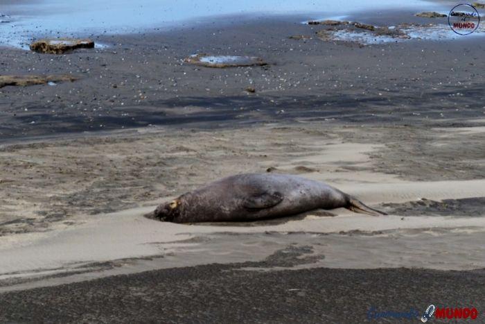 Lobo marino en El Arenal