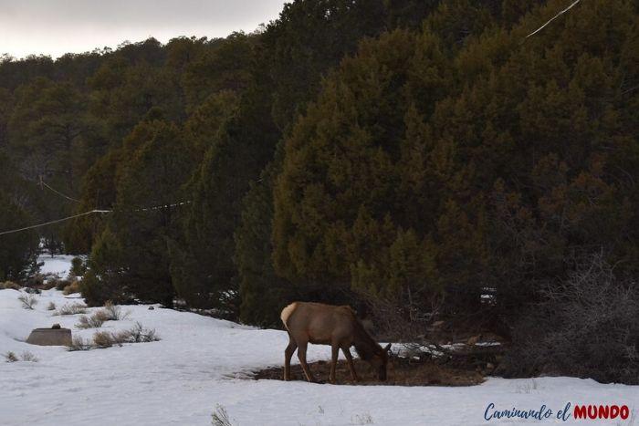 Alces y ciervos en el Gran Cañón en invierno