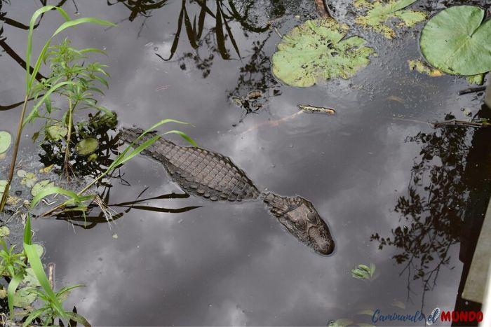 Yacaré en el sendero verde de iguazú al visitar las cataratas