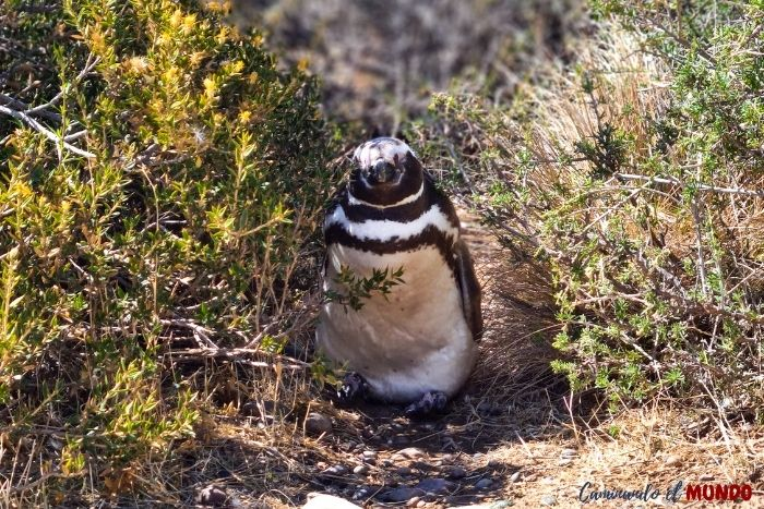Pingüino de Magallanes en Punta Tombo