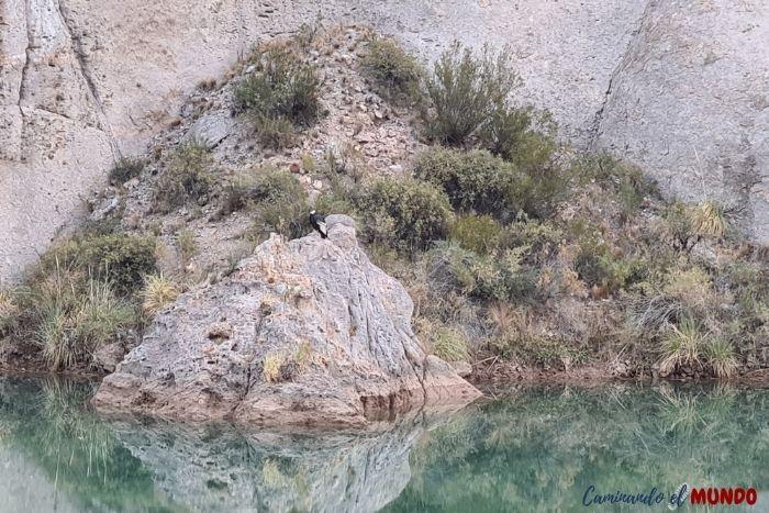 Condor en el Cañón del Atuel